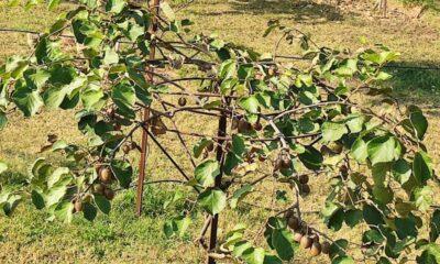 Kiwifruit cultivation in Kashmir