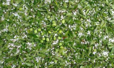 Hailstorm damages apple orchards