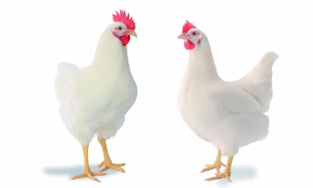 The Chicken Tale